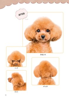 Things we all love about the Poodle Puppies Dog Grooming Styles, Dog Grooming Salons, Poodle Grooming, Pet Grooming, Poodle Teddy Bear Cut, Poodle Cuts, Dog Spa, Hairless Dog, Dog Haircuts