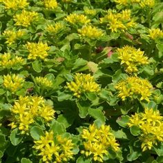 Sedum Yellow Stonecrop Succulent Seeds (Sedum Ellacombianum) 50 Seeds - Under The Sun Seeds  - 1