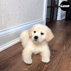 videos background Adorable Golden Retriever Puppy Wants To Play Cute Puppy Videos, Funny Animal Videos, Animal Memes, Videos Funny, Food Videos, Cute Funny Dogs, Cute Funny Animals, Cute Cats, Cute Dogs And Puppies