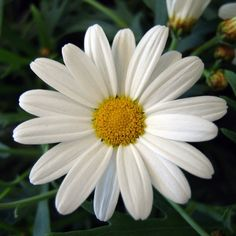 The perfect daisy