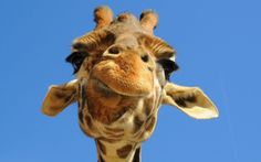 Can I have a giraffe for my birrffdayy pppweeaasee?