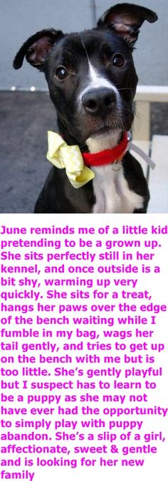 Manhattan Center JUNE – A1056234 FEMALE, BLACK / WHITE, PIT BULL, 8 mos STRAY – STRAY WAIT, NO HOLD Reason STRAY Intake condition ILLNESS Intake Date 10/28/2015 http://nycdogs.urgentpodr.org/june-a1056234/
