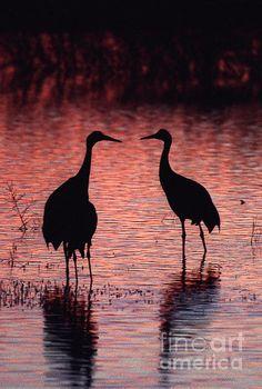 A pair of Sandhill cranes at the Bosque del Apache NWR, Socorro, NM.