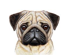 Lines on a face for a for detail is very important for my picture because pugs are known for their wrinkles. Mops Tattoo, Animals And Pets, Cute Animals, Pug Tattoo, Pug Art, Pug Puppies, Pug Love, Animal Drawings, Pet Portraits