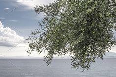 Olive tree on the beach Photos Olive tree on the beach. Blue sky by Deyan Georgiev