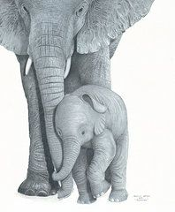 Elephants Drawings - Bonding  by Bryan Austerberry--Just more elephant drawings.