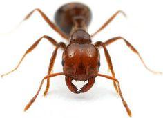 TOCANDIRA •Formiga considerada carnívora, sua picada nos seres humanos dói por 24h.