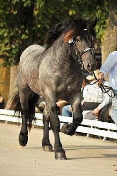 Noriker stallion Ebenwaldner Nero XIII