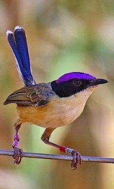 Purple Crowned Fairy Wren - Northern Australia..