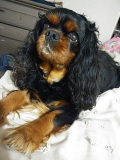 Cavalier King Charles Frimousse ! ❤