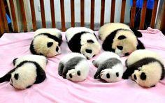 awwwwwwwww!!!!!!!! i <3 pandas!