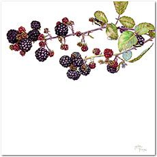 Blackberries. Botanical print - tattoo idea