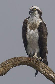 Osprey, the provincial bird of Nova Scotia