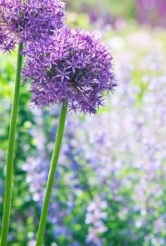 Had these in Maine- miss them...  Allium hollandicum 'Purple Sensation'