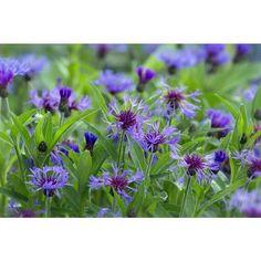Centaurée Bleuet (des montagnes) - Herbacées à fleurs comestibles - Herbacées | Cultiver l'abondance - Plantes vivaces comestibles pour le Québec,se ressème.