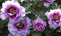 PAEONIA SUFFRUTICOSA Lavender—Пион древовидный Лавандер | sadko.by