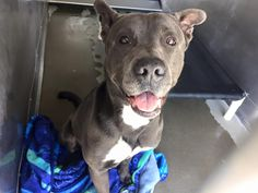 ●TO BE DESTROYED 6•11•16●Marvin is a 3 year old , male Pit Bull ID A491541rnVideo rnhttps://www.facebook.com/andrea.neyses/posts/1084971981564407rn<br><br>rnVideo rnhttps://www.facebook.com/298927593559439/videos/969421736510018/rn<br><br>rnURGENT, needs help ..rMarvin was in isolation for bring fearful , he's out and loving the attention now.