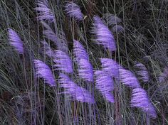 Purple Reeds in the Wind  Fine art photography by MorrisClassics, $15.00