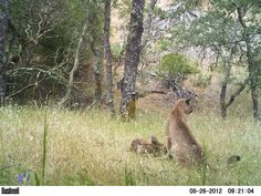Remote Camera Photo of the Week: Puma Cub Practices Hunting Skills on a Deer Fawn in South Bay Area, CA    Next photo in the sequence!     Have a great Labor Day Weekend!