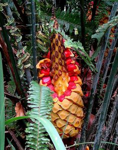 Cycad of South Africa