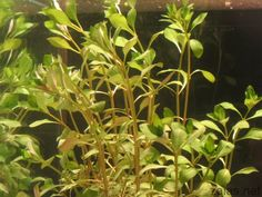Ludwigia repens  http://aquariumwaterplants.com