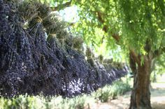 Cache Creek Lavender Farm, Capay Valley