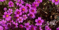 Australian wildflowers in Shark Bay. This photo features : Parakeelya (Calandrinia sp.