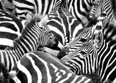 1art1 78141 Zebras - Zebraherde Fototapete Poster-Tapete 160 x 115 cm