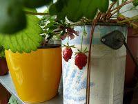 Gemüse & Naschen: Lecker Erdbeeren