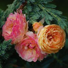 Rosomane Janon ® Jaune Orange, Iris, Creations, Gardens, Plant, Flowers, Color, Bearded Iris, Irises