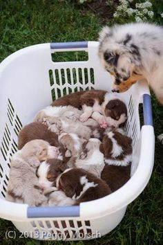 Discover The Work-Oriented Australian Shepherd Dogs Exercise Needs Australian Shepherd Puppies, Aussie Puppies, Cute Dogs And Puppies, Australian Shepherds, Doggies, Puppies Puppies, Miniture Australian Shepard, Cute Funny Animals, Cute Baby Animals