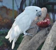 Resultado de imagen para cacatuas de goffiniana nido