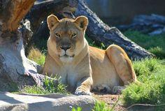 Lion at tulsa okla zoo