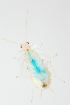 https://flic.kr/p/SCn9vW | Dyed sugars moving through digestive system | This translucent cockroach makes for the perfect model organism to illustrate the movement of food through the digestive tract. No cockroaches were harmed in the making of this photo. Quite the opposite! This guy was a rescue, and got a few free meals to boot.  An excerpt from the cockroach blog which will tantalize you a few days longer, just out of sight .  See more #CockroachesofSani. Photographed for the…