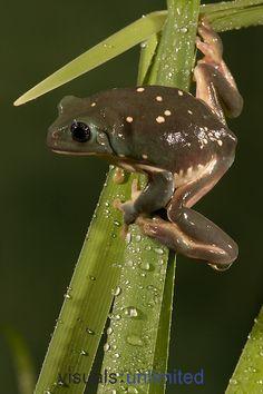 Mexican Leaf Frog,