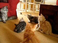 Maineline Maine Coons Kittens