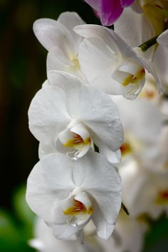 White Orchid-I have this orchid. A great bloomer! Flowers last for months.