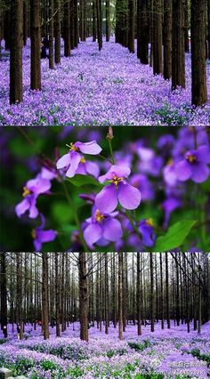 南京花季——这片紫色梦幻花海,不在普罗旺斯,而在南京理工大学,那些结伴成长的花朵,不是盛名的薰衣草,而是低调的二月兰。水杉下,盛开在,每个和风轻拂的春天里。 Beautiful Scenery, Simply Beautiful, Beautiful Places, Purple Hues, The Great Outdoors, Photo And Video, World, Pretty, Nature