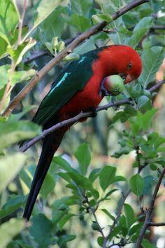 Australian King Parrot Kinds Of Birds, Birds 2, Exotic Birds, Colorful Birds, Pretty Birds, Beautiful Birds, Native Australians, Mundo Animal, Parakeet