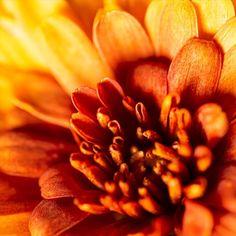 Macro Flower Photography   Flower Photography   Abstract Photography   Photography   Abstract Art   Wall Decor   Wall Art   Art   Photo Art   Home Decor Abstract Photography, Flower Photography, Macro Flower, Chrysanthemum, Wall Art Decor, Photo Art, Abstract Art, Art Art, Prints
