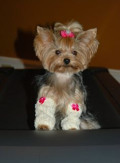Leg warmers on a Yorkie? ⋆ It's a Yorkie Life Yorkies, Yorkie Puppy, Yorkie Hair, Cute Puppies, Cute Dogs, Lab Puppies, Poodle Puppies, Dog Leg, Yorkshire Terrier Puppies