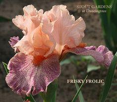 Iris FRISKY FROLIC | Stout Gardens at Dancingtree