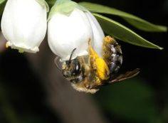 La polinización peligra por el declive de las abejas silvestres | Sociedad | EL PAÍS