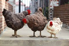 City Girl Farms chicken footstools. I must have one! I have been coveting these since I first saw them at the NYIGF!!