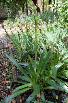 eryngium-agavifolium-