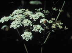 POISONOUS HEMLOCK PLANT Deadly Plants, Poisonous Plants, Sacred Groves, Meadow Flowers, Field Guide, North Africa, Growing Plants, Herbs, Backyard