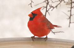 Cardinals- pic taken by mom