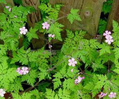 """Wild geranium (Geranium robertianum) is also known as """"Stinky Bob"""" and a weed I think is pretty."""