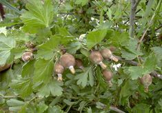 Elpusztítja az egres (köszméte) termését a liszharmat Bird, Animals, Gardening, Plant, Animales, Animaux, Birds, Lawn And Garden, Animal