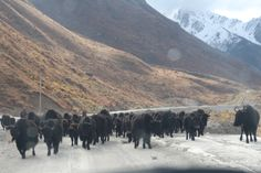Yaks blocking the road on the way to the school. www.educationatelevation.org